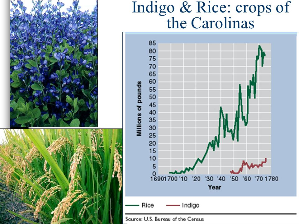 Indigo & Rice: crops of the Carolinas
