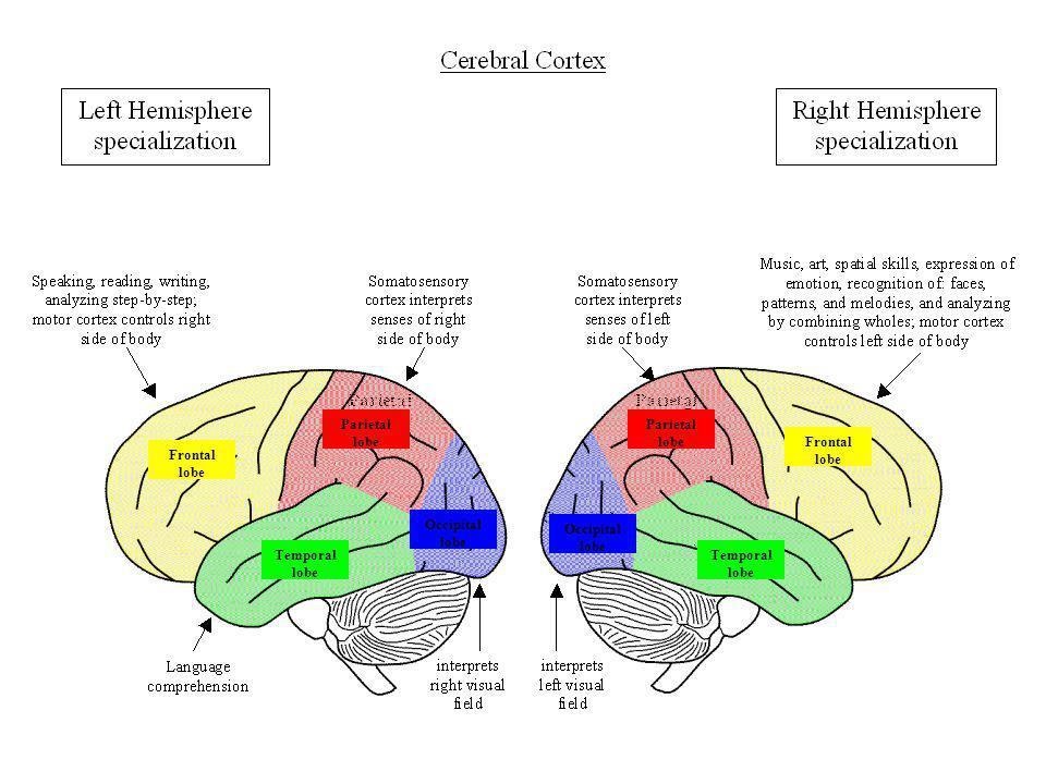 Parietal lobe Parietal lobe. Frontal lobe. Frontal lobe. Occipital lobe. Occipital lobe. Temporal lobe.