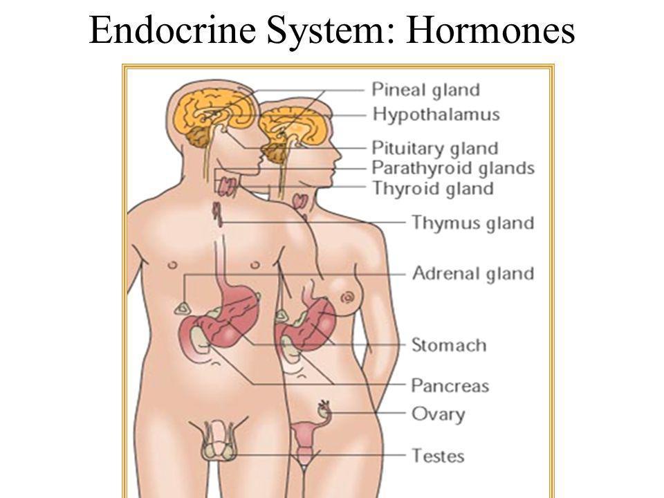 Endocrine System: Hormones