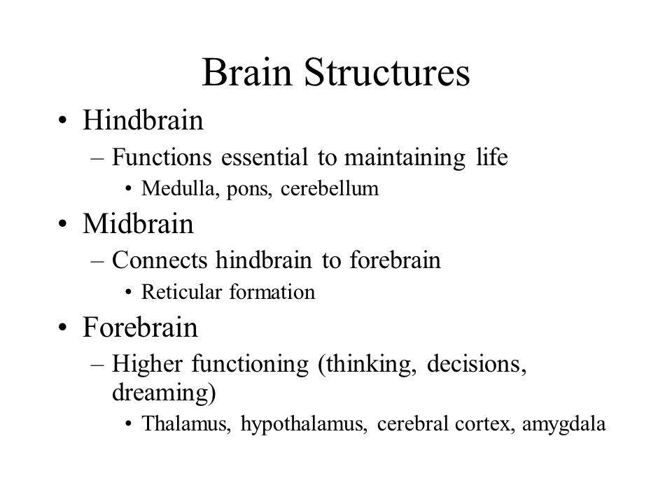 Brain Structures Hindbrain Midbrain Forebrain
