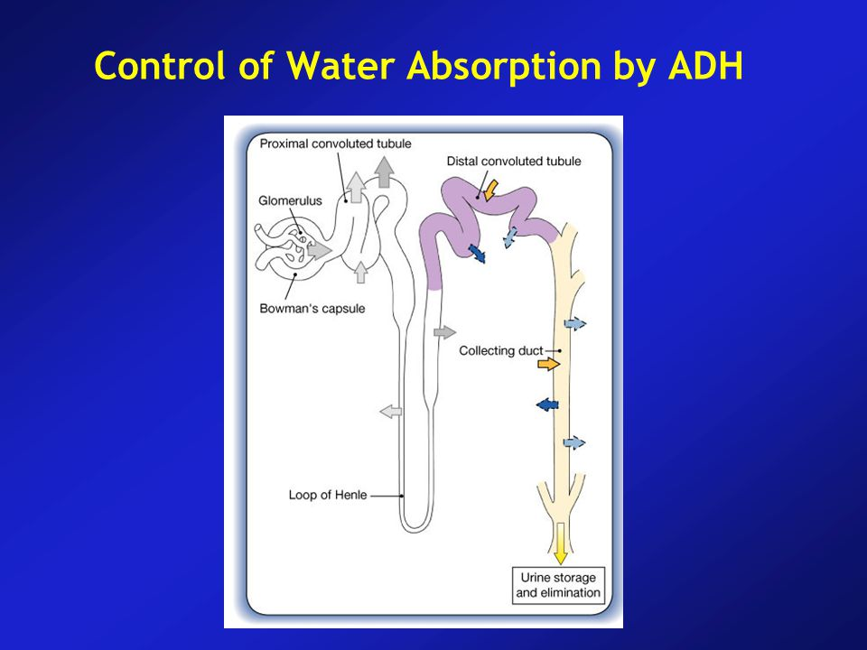 Control of Water Absorption by ADH