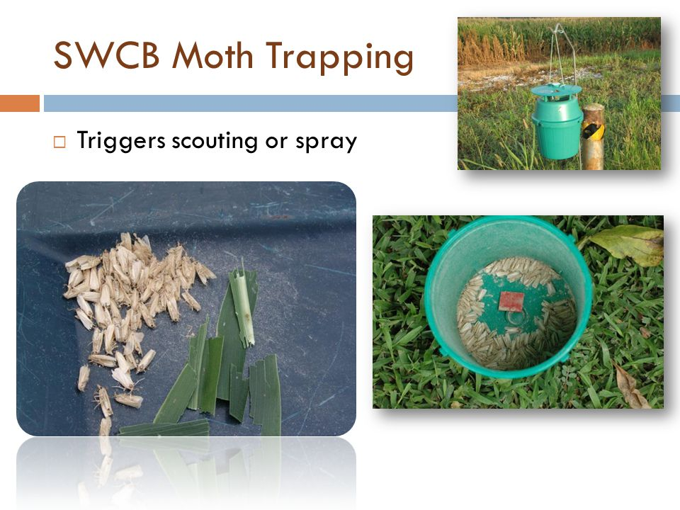 SWCB Moth Trapping Triggers scouting or spray