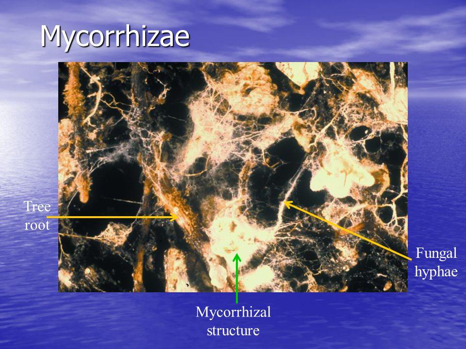 Mycorrhizal structure