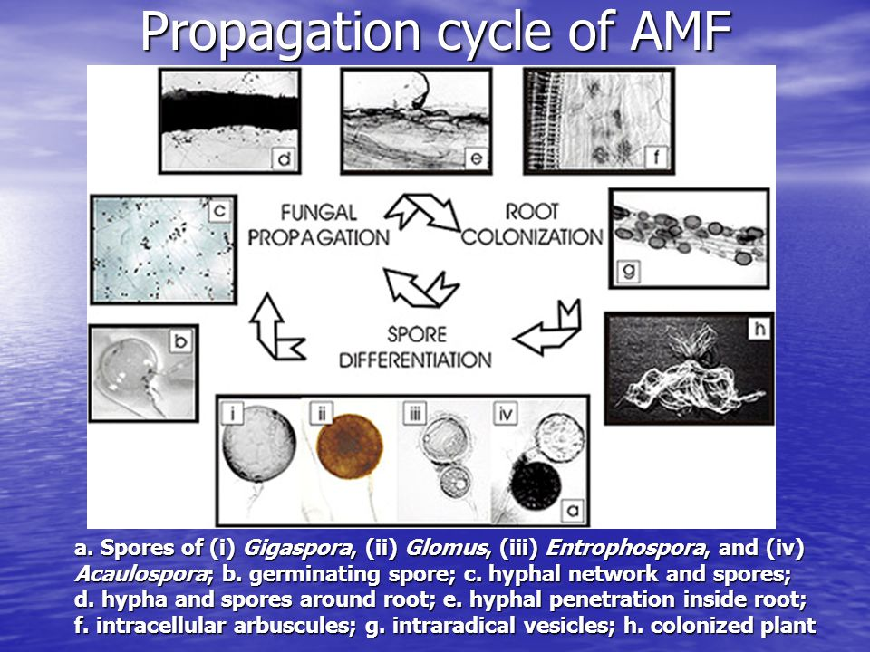 Propagation cycle of AMF