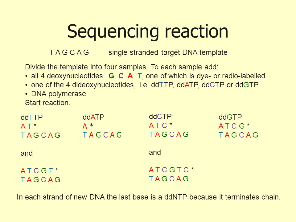 Sequencing reaction T A G C A G single-stranded target DNA template