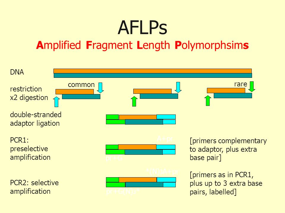 AFLPs Amplified Fragment Length Polymorphsims