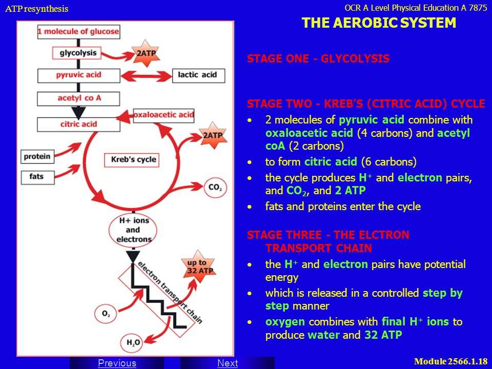 THE AEROBIC SYSTEM STAGE ONE - GLYCOLYSIS