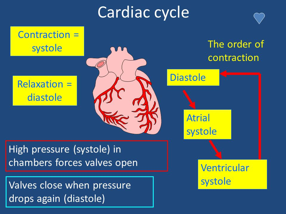Cardiac cycle Contraction = systole The order of contraction Diastole