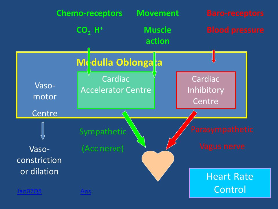 Medulla Oblongata Heart Rate Control Chemo-receptors CO2 H+ Movement
