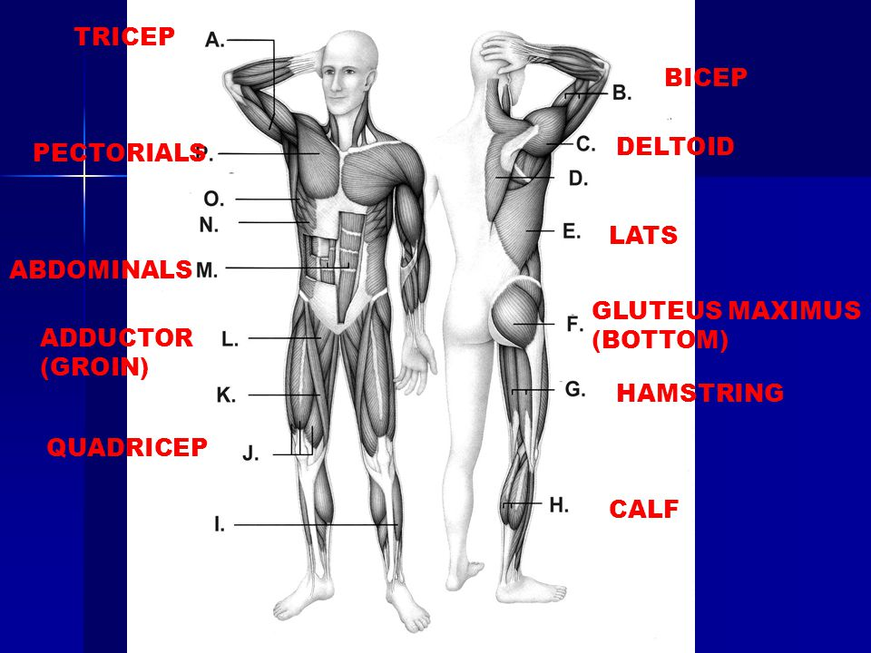 TRICEP BICEP. DELTOID. PECTORIALS. LATS. ABDOMINALS. GLUTEUS MAXIMUS (BOTTOM) ADDUCTOR (GROIN)
