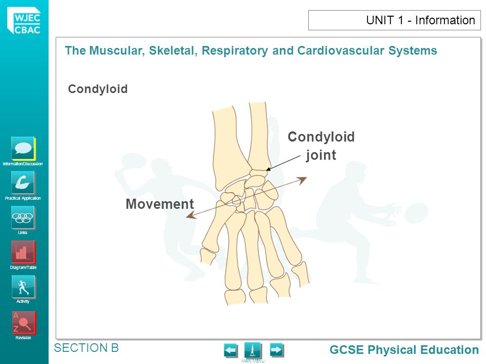 Condyloid joint Movement UNIT 1 - Information Condyloid