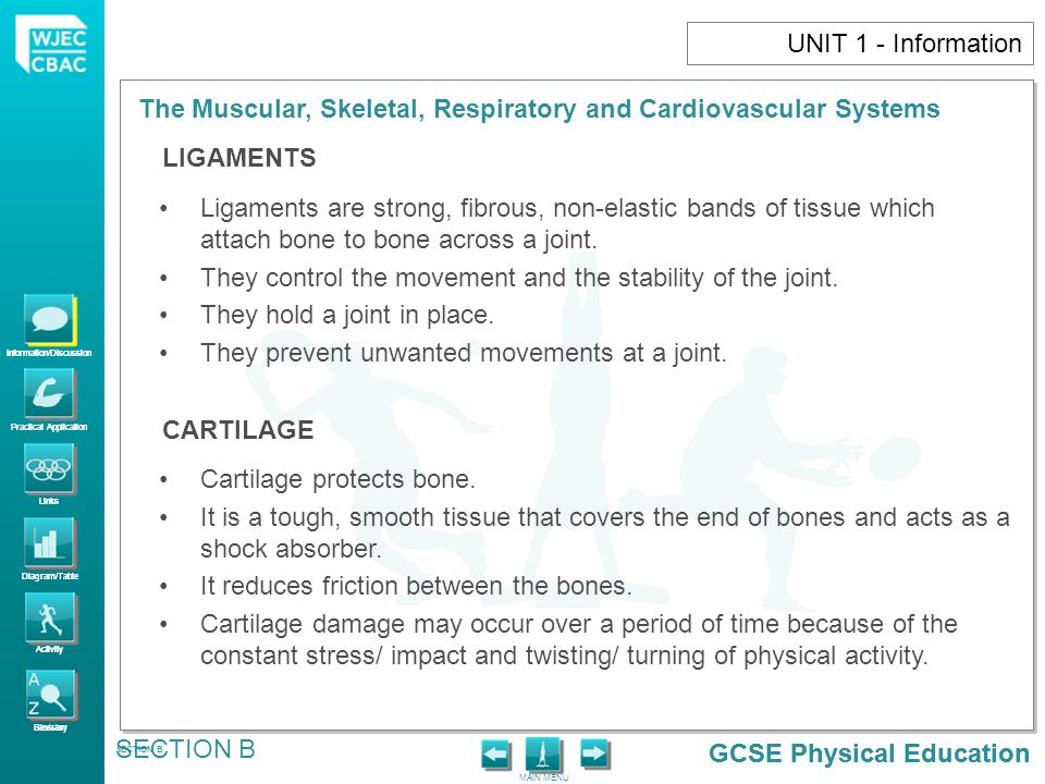 They control the movement and the stability of the joint.