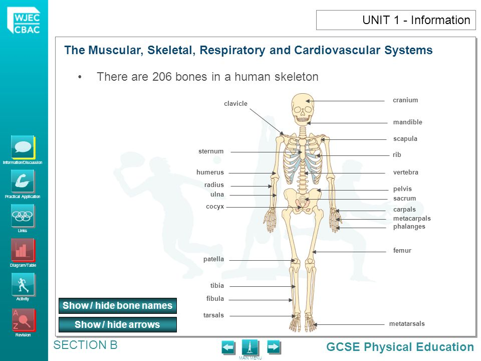 The Muscular, Skeletal, Respiratory and Cardiovascular Systems