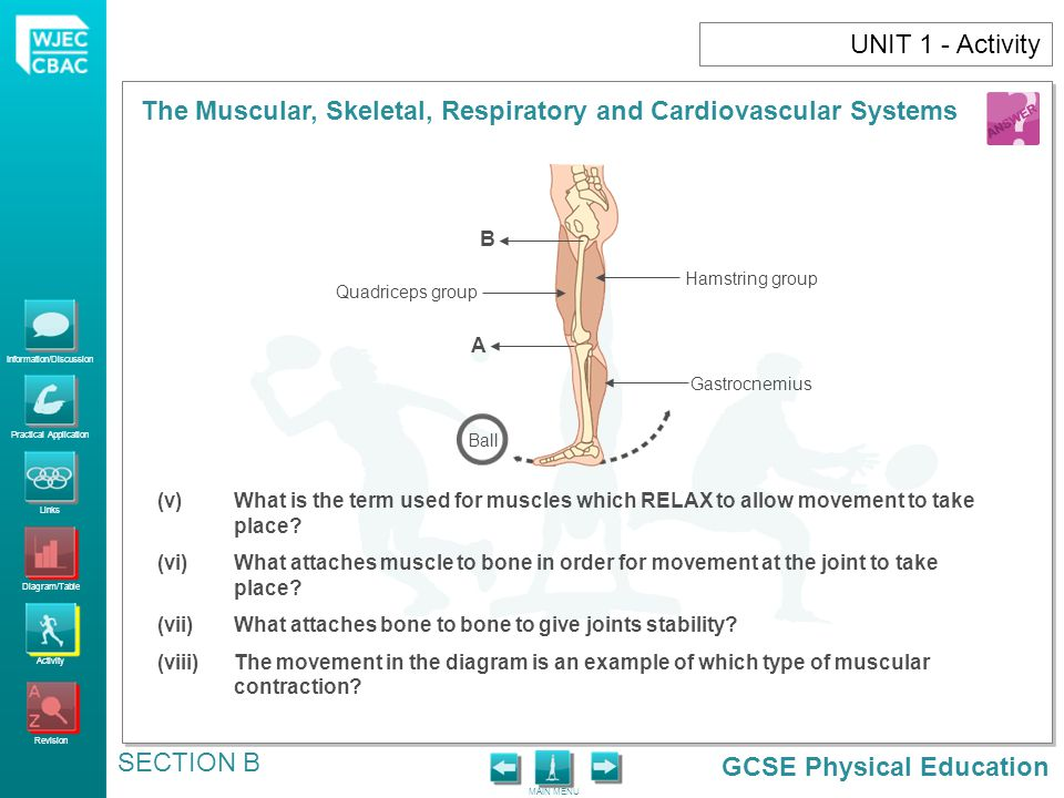 UNIT 1 - Activity A. B. Quadriceps group. Hamstring group. Gastrocnemius. Ball.