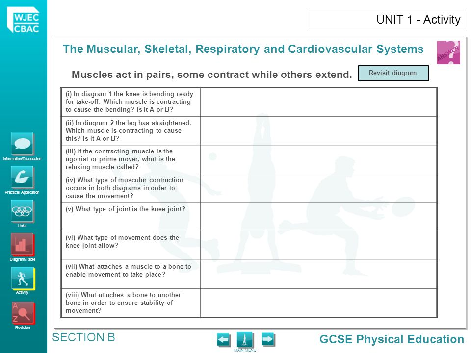 UNIT 1 - Activity Muscles act in pairs, some contract while others extend. Revisit diagram.