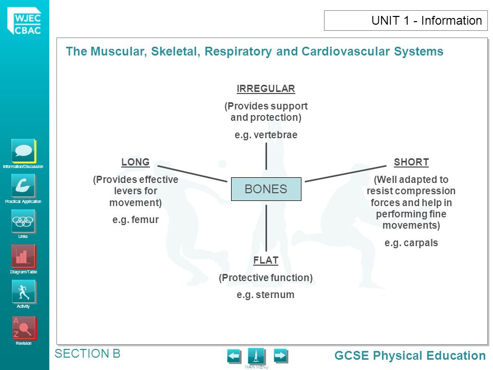 UNIT 1 - Information BONES IRREGULAR (Provides support and protection)