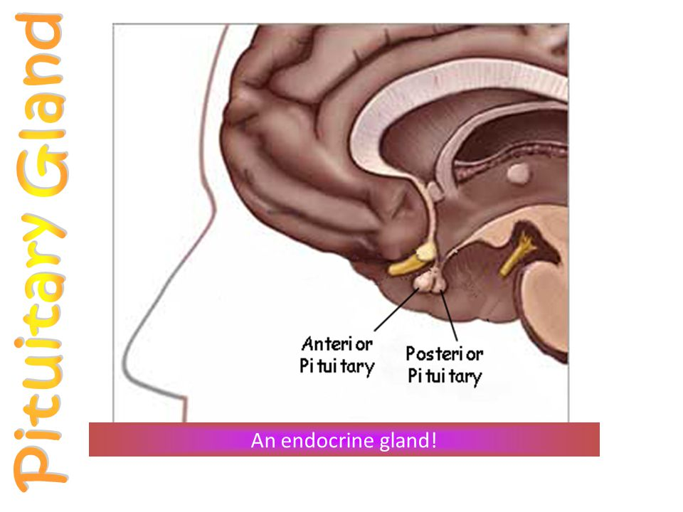 Pituitary Gland An endocrine gland!