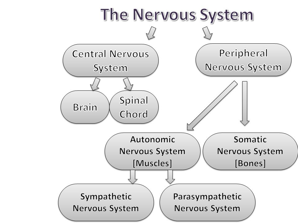 The Nervous System Central Nervous System Peripheral Nervous System