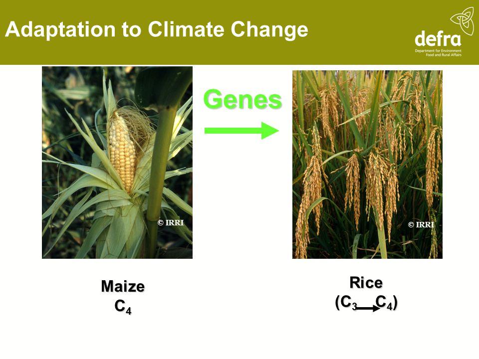 Genes Adaptation to Climate Change Rice Maize (C3 C4) C4 © IRRI © IRRI