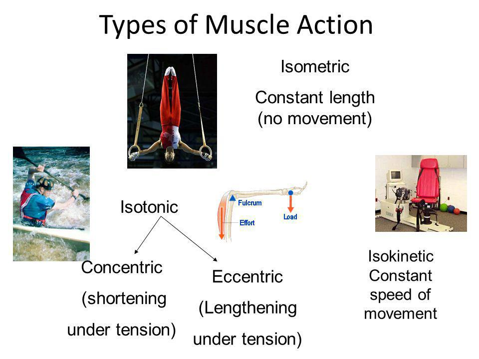 Isometric Contraction Sporting Example An analysis of human m...
