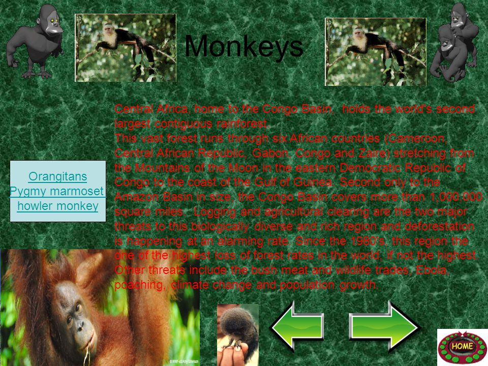 Monkeys Central Africa, home to the Congo Basin, holds the world s second largest contiguous rainforest.