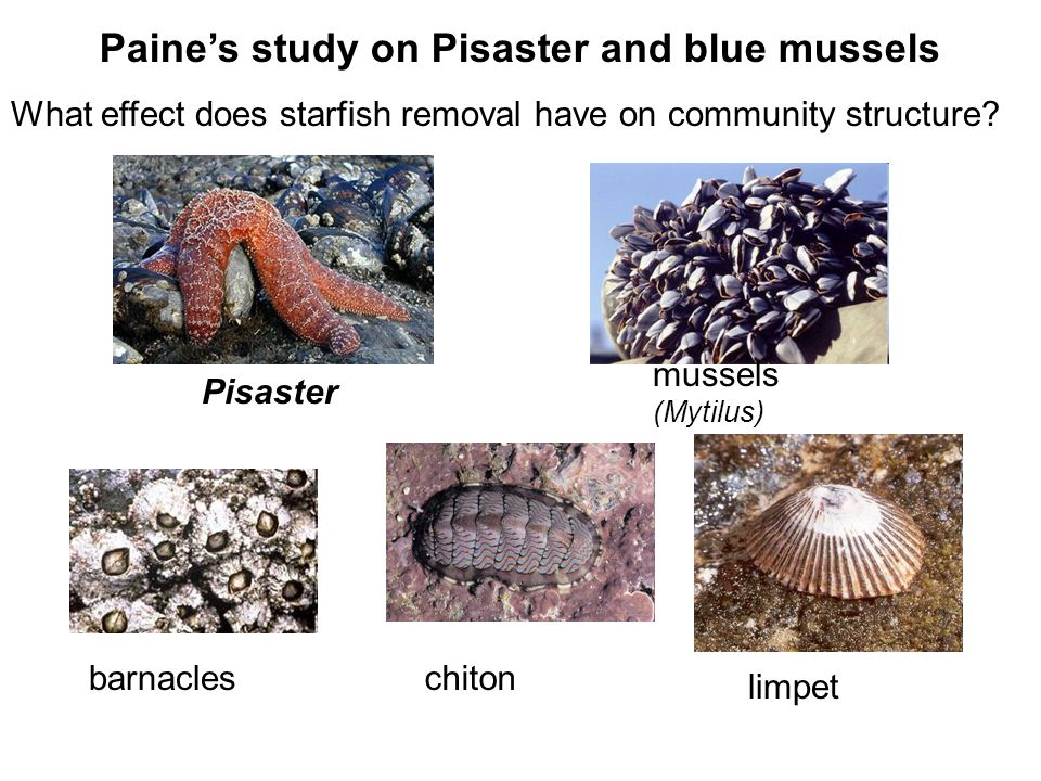 Paine's study on Pisaster and blue mussels