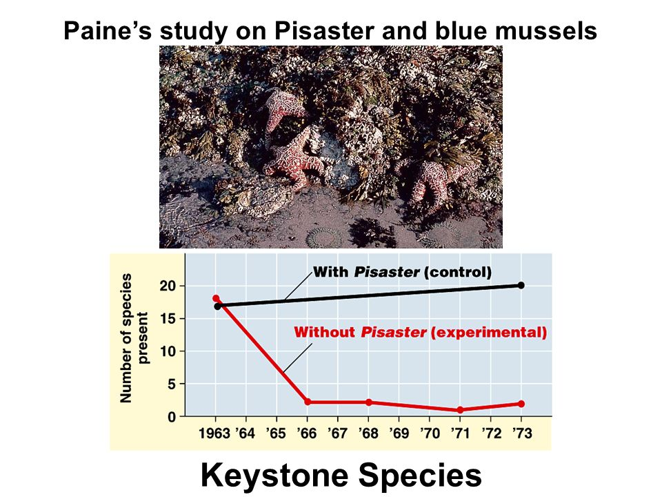 Keystone Species Paine's study on Pisaster and blue mussels