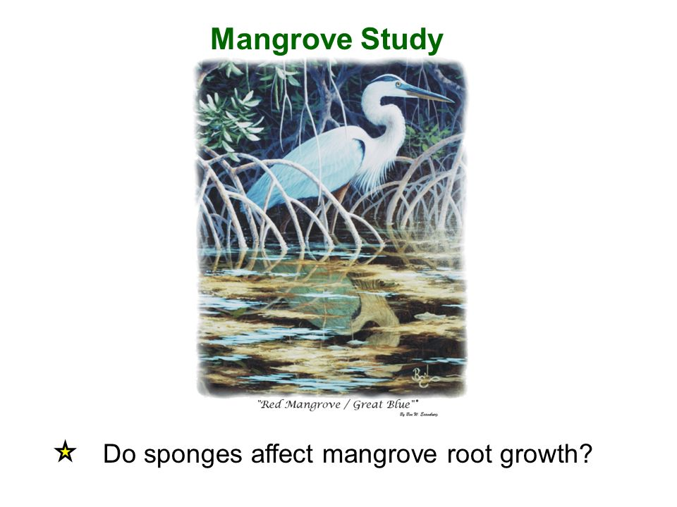 Mangrove Study Do sponges affect mangrove root growth
