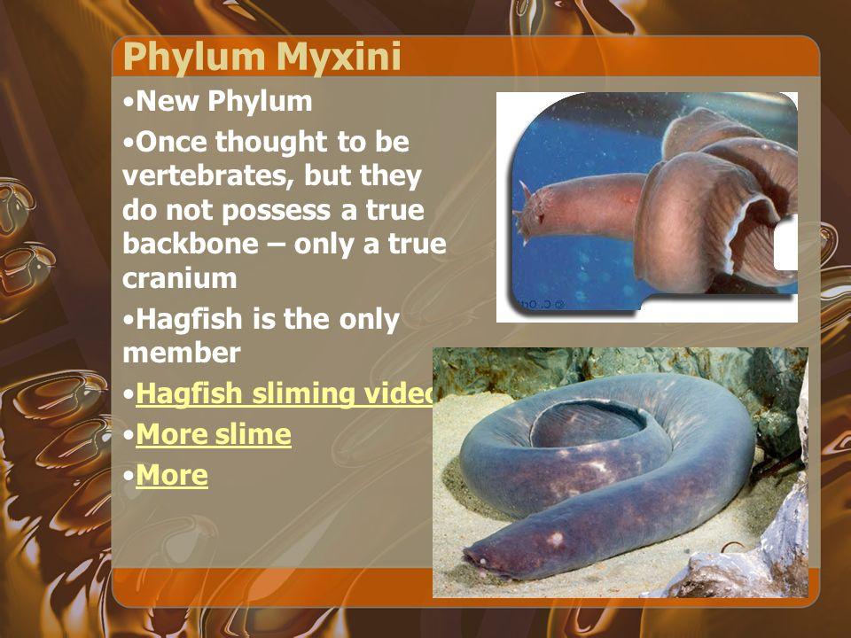 Phylum Myxini New Phylum
