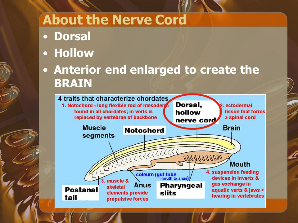 About the Nerve Cord Dorsal Hollow