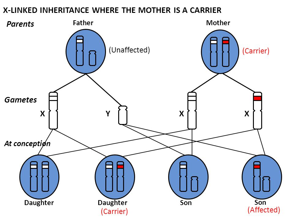 X-LINKED INHERITANCE WHERE THE MOTHER IS A CARRIER