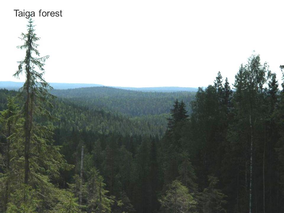 Taiga forest