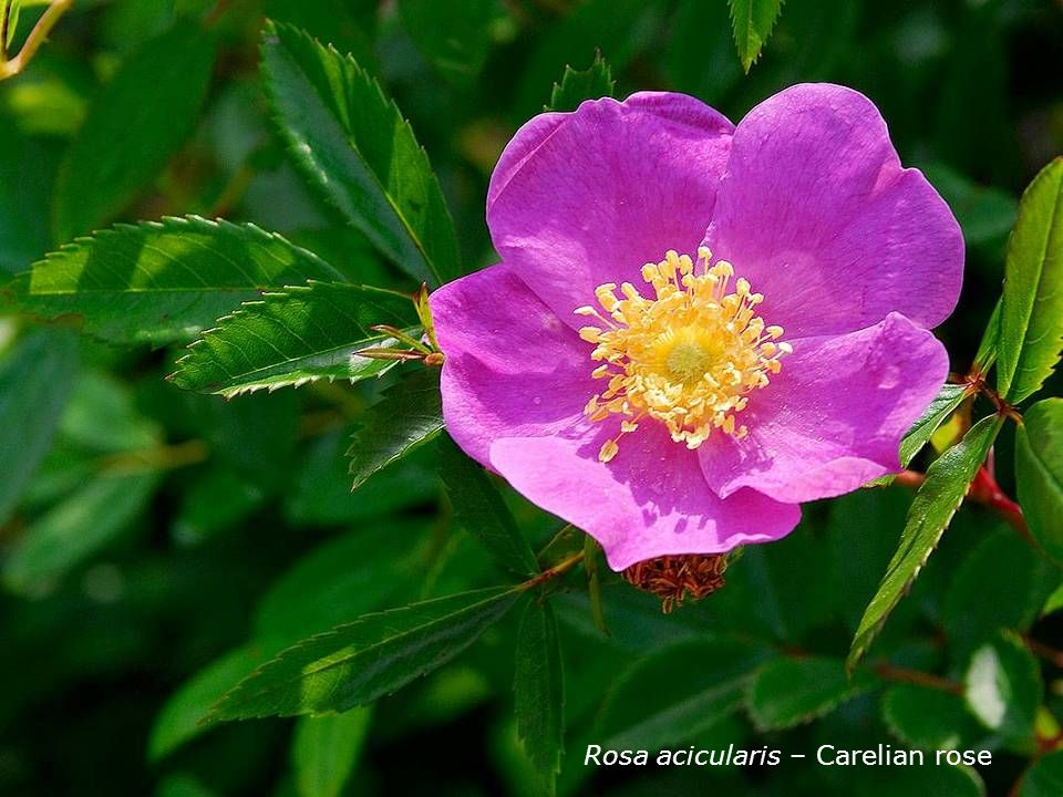 Rosa acicularis – Carelian rose