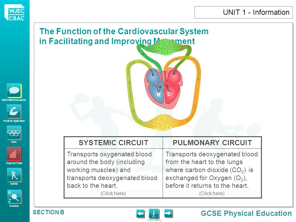 SYSTEMIC CIRCUIT PULMONARY CIRCUIT