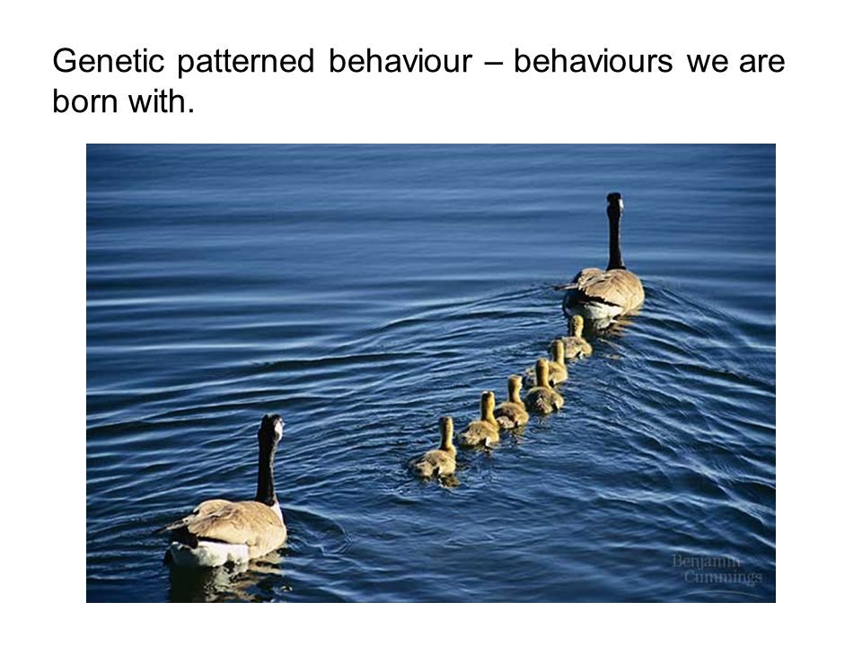Genetic patterned behaviour – behaviours we are born with.