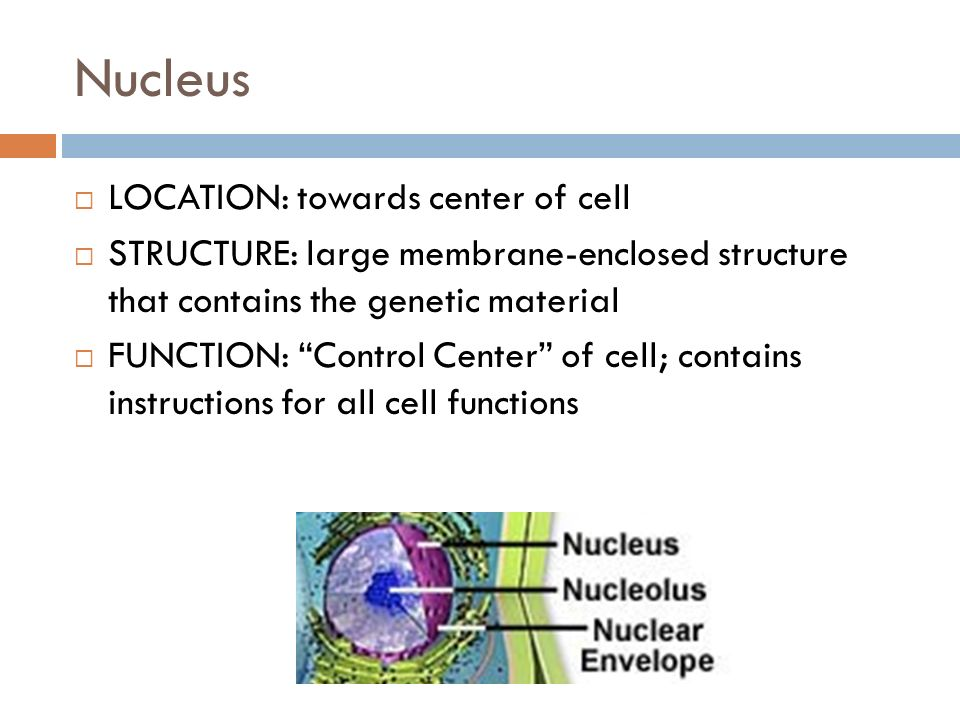 Nucleus LOCATION: towards center of cell