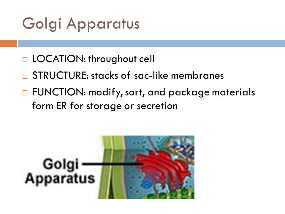 Golgi Apparatus LOCATION: throughout cell