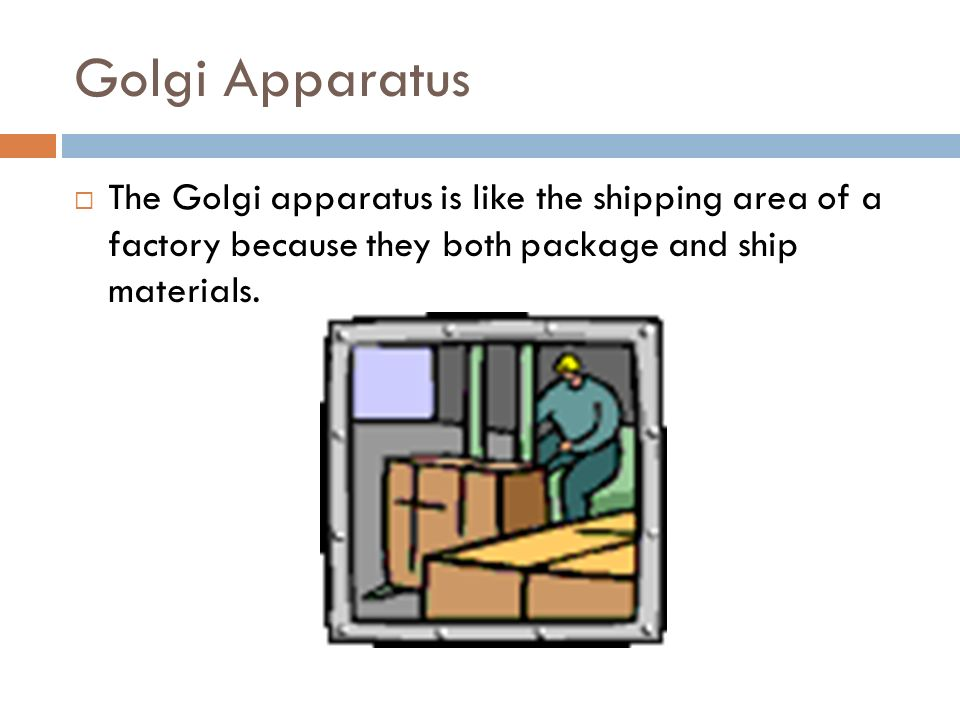 Golgi Apparatus The Golgi apparatus is like the shipping area of a factory because they both package and ship materials.