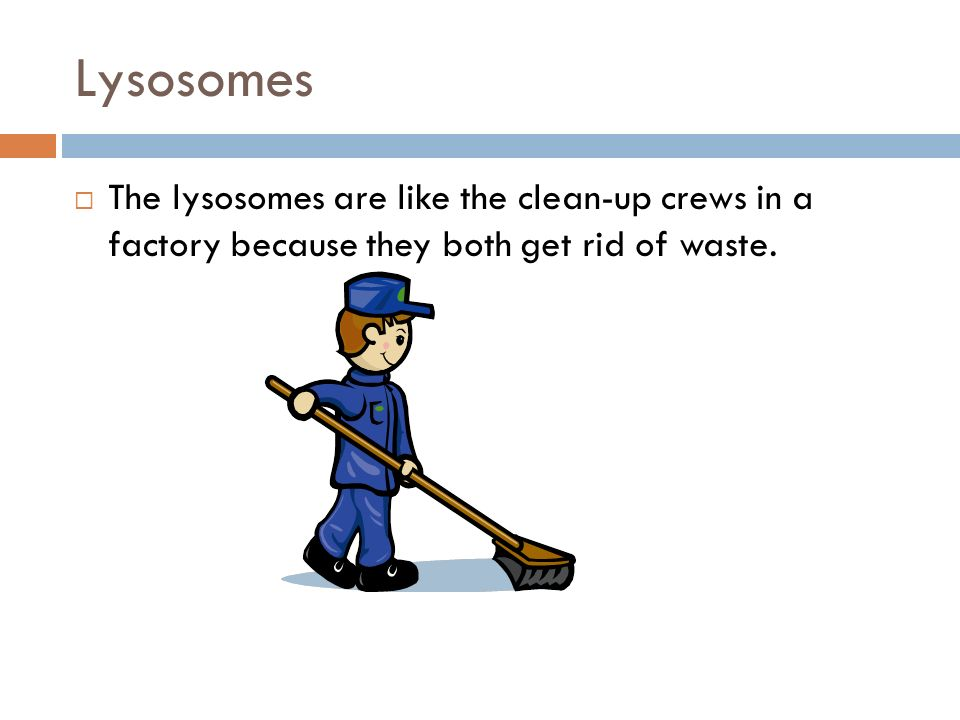 Lysosomes The lysosomes are like the clean-up crews in a factory because they both get rid of waste.