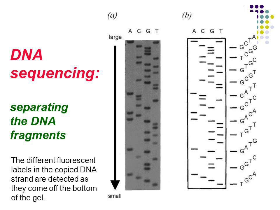 DNA sequencing: separating the DNA fragments