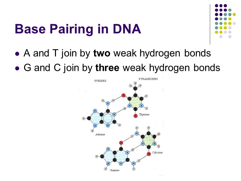 Base Pairing in DNA A and T join by two weak hydrogen bonds