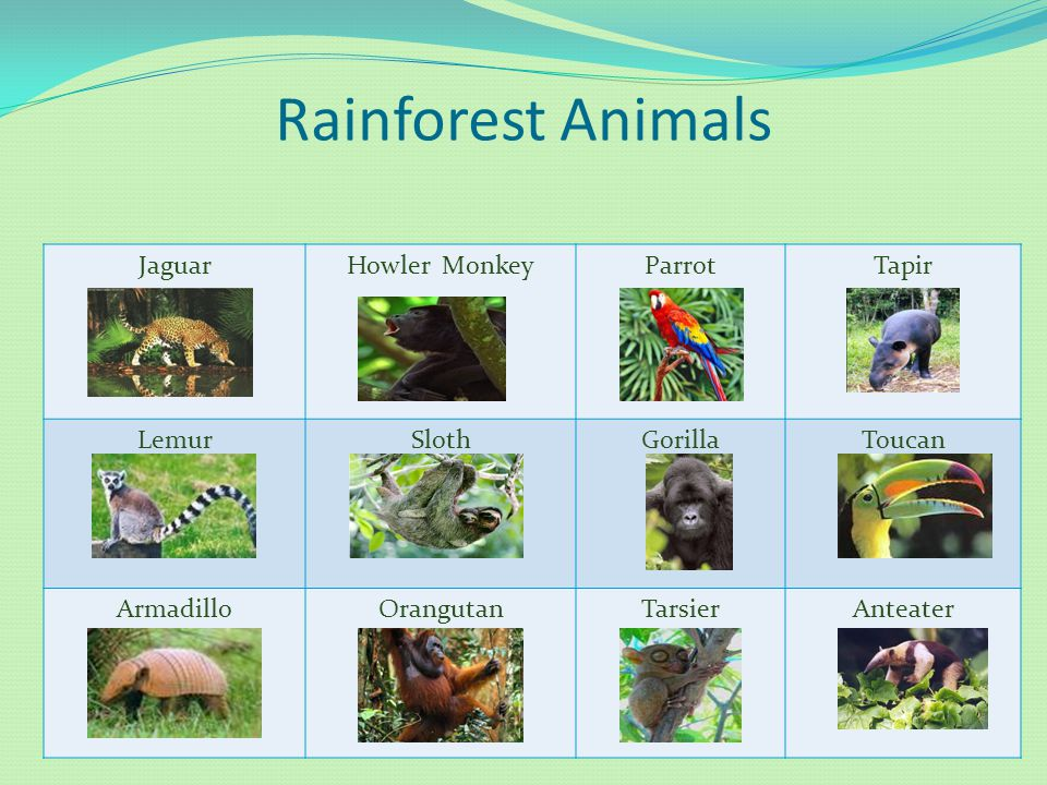 Rainforest Animals Jaguar Howler Monkey Parrot Tapir Lemur Sloth
