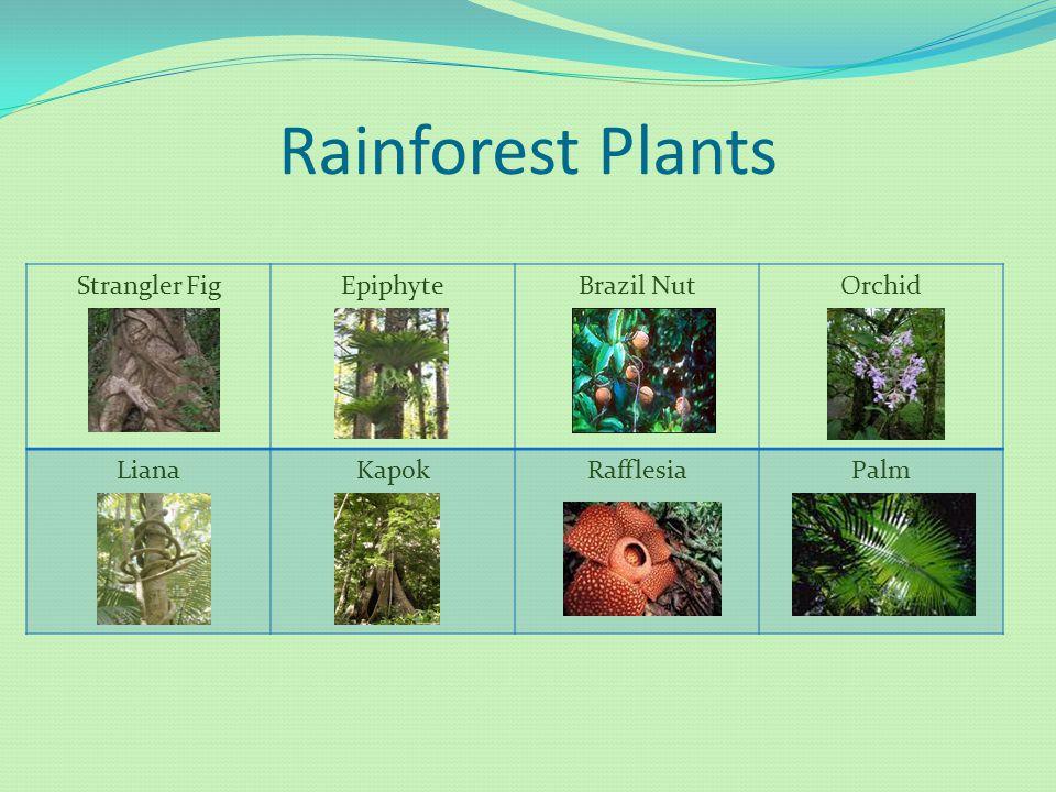 Rainforest Plants Strangler Fig Epiphyte Brazil Nut Orchid Liana Kapok