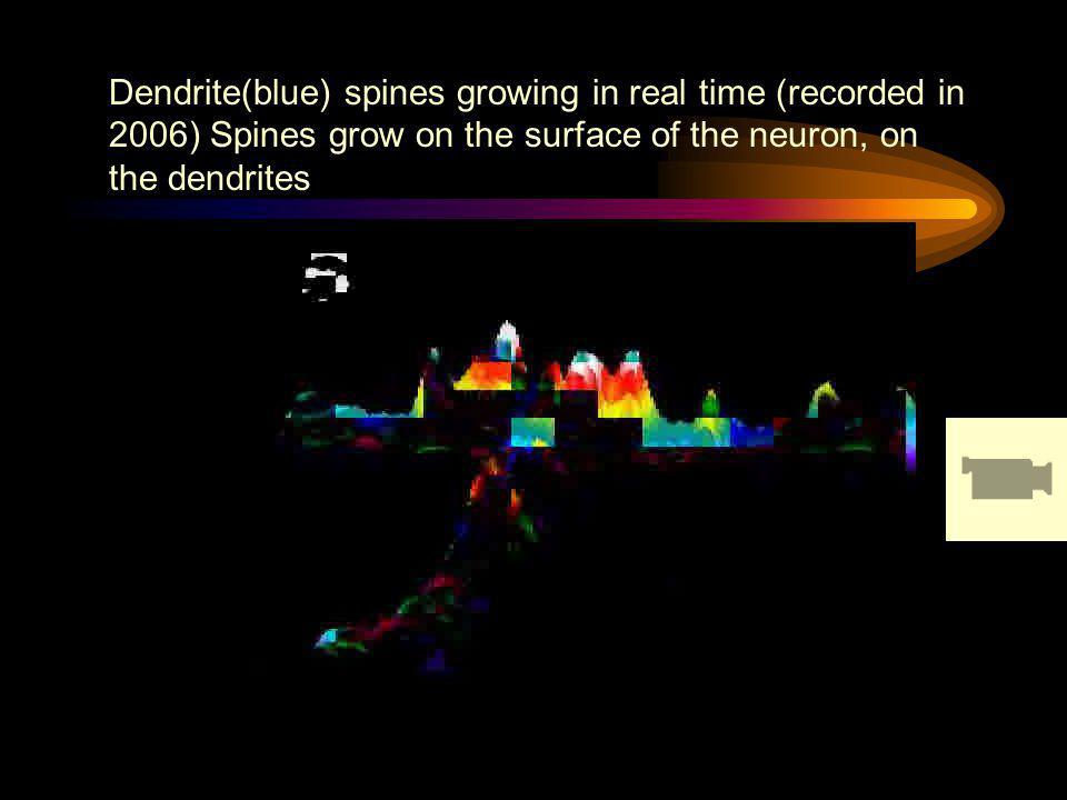 Dendrite(blue) spines growing in real time (recorded in 2006) Spines grow on the surface of the neuron, on the dendrites