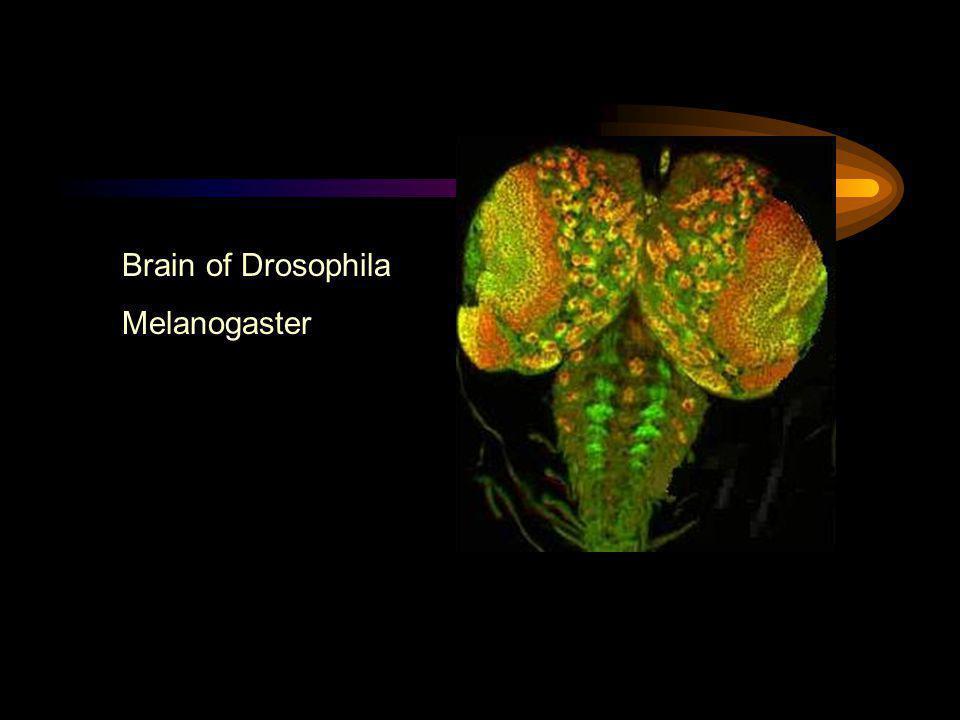 Brain of Drosophila Melanogaster