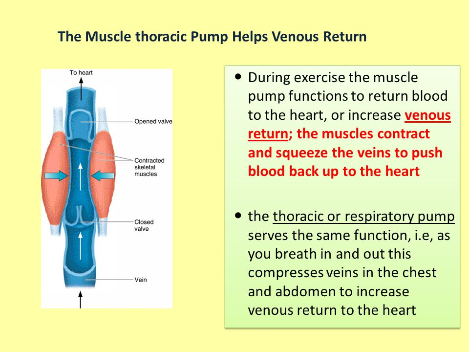 The Muscle thoracic Pump Helps Venous Return