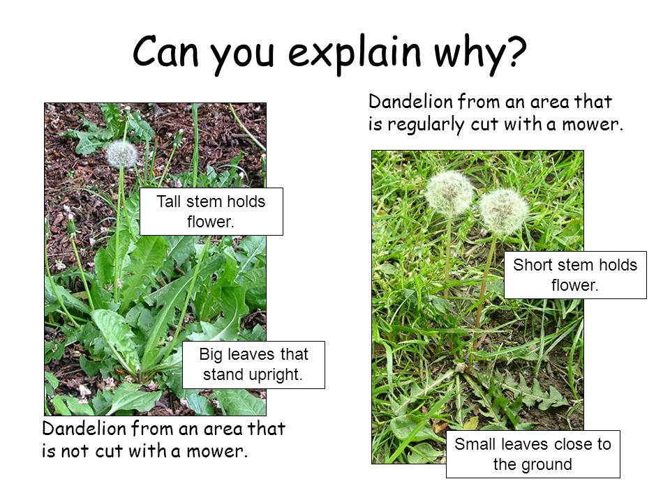 Can you explain why Dandelion from an area that is regularly cut with a mower. Tall stem holds flower.