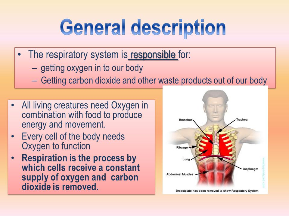 General description The respiratory system is responsible for: