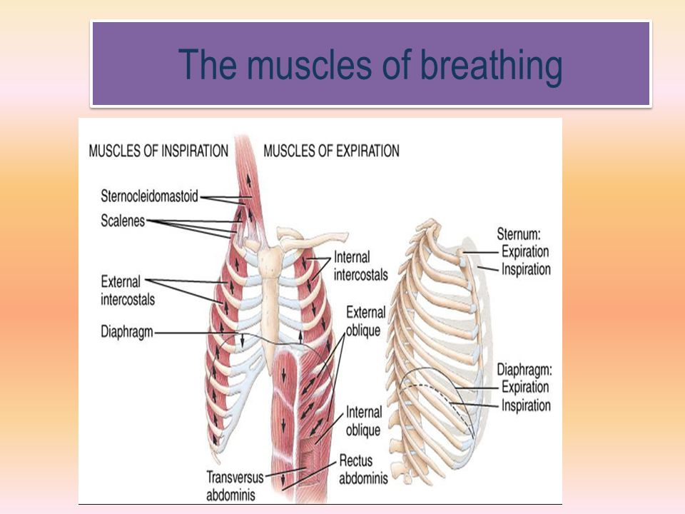 The muscles of breathing