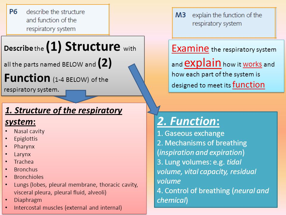 The Respiratory System And Its Functions